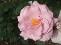 2014-06-21花巻温泉街バラ園195