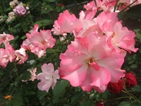 2014-06-21花巻温泉街バラ園206