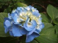 みちのく紫陽花園2014-07-05-026