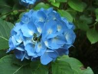 みちのく紫陽花園2014-07-05-025