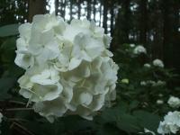 みちのく紫陽花園2014-07-05-023