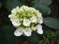 みちのく紫陽花園2014-07-05-022
