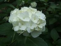 みちのく紫陽花園2014-07-05-021