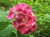 みちのく紫陽花園2014-07-05-032