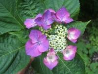 みちのく紫陽花園2014-07-05-031