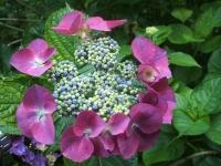 みちのく紫陽花園2014-07-05-029