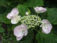 みちのく紫陽花園2014-07-05-027