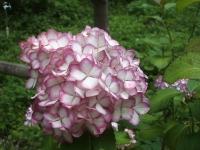 みちのく紫陽花園2014-07-05-038
