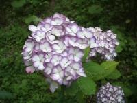 みちのく紫陽花園2014-07-05-036