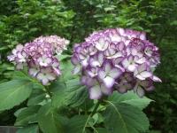 みちのく紫陽花園2014-07-05-035