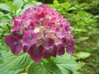 みちのく紫陽花園2014-07-05-034