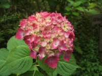 みちのく紫陽花園2014-07-05-033