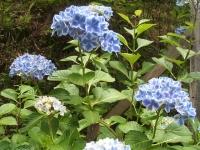 みちのく紫陽花園2014-07-05-044