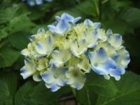 みちのく紫陽花園2014-07-05-043
