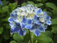 みちのく紫陽花園2014-07-05-042