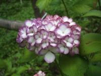 みちのく紫陽花園2014-07-05-040