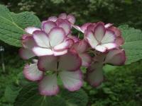 みちのく紫陽花園2014-07-05-039