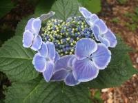 みちのく紫陽花園2014-07-05-050
