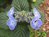みちのく紫陽花園2014-07-05-049