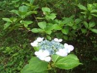 みちのく紫陽花園2014-07-05-047