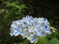 みちのく紫陽花園2014-07-05-046