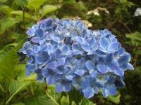 みちのく紫陽花園2014-07-05-045