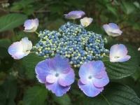 みちのく紫陽花園2014-07-05-056