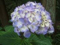 みちのく紫陽花園2014-07-05-054