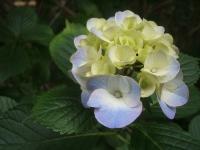 みちのく紫陽花園2014-07-05-055
