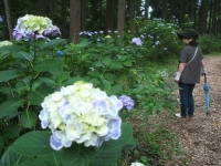 みちのく紫陽花園2014-07-05-052