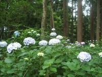 みちのく紫陽花園2014-07-05-051