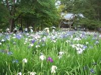 2014-06-28毛越寺あやめ祭り064
