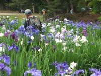 2014-06-28毛越寺あやめ祭り068