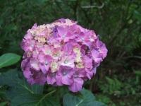 みちのく紫陽花園2014-07-05-062