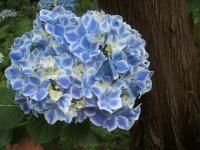 みちのく紫陽花園2014-07-05-068
