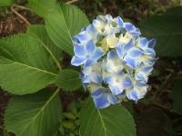 みちのく紫陽花園2014-07-05-067