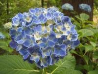 みちのく紫陽花園2014-07-05-066
