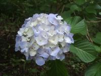 みちのく紫陽花園2014-07-05-064