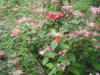 みちのく紫陽花園2014-07-05-074