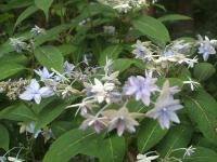 みちのく紫陽花園2014-07-05-071