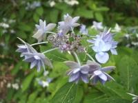 みちのく紫陽花園2014-07-05-070