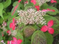 みちのく紫陽花園2014-07-05-075