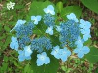 みちのく紫陽花園2014-07-05-084