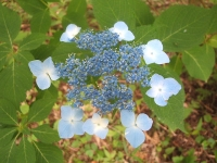 みちのく紫陽花園2014-07-05-083