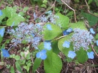 みちのく紫陽花園2014-07-05-081