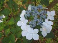 みちのく紫陽花園2014-07-05-082