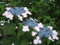 みちのく紫陽花園2014-07-05-092