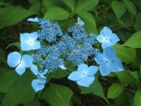 みちのく紫陽花園2014-07-05-087