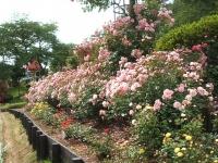 2014-06-21花巻温泉街バラ園209