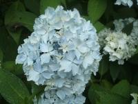 みちのく紫陽花園2014-07-05-097